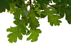 Oak leaves. Isolated on white Stock Image
