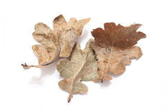 Oak Leaves. On white background Stock Photography