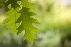 Oak leaves. Blurry background, tow oak leaves royalty free stock images
