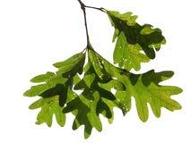 Oak Leaves. Cluster of green oak leaves isolated on white Stock Images