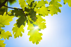 Oak leaves. On blue sky and bright sun background Royalty Free Stock Photography