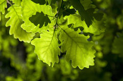 Free Oak Leaves Royalty Free Stock Photography - 73692857