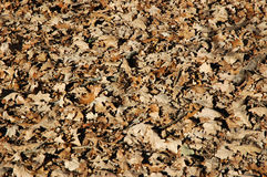 Oak Leaves. In autumn park Stock Images