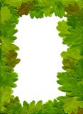 Oak leaves. The frame of oak leaves stock photo