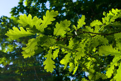 Oak leaves. In the evening sun Royalty Free Stock Images