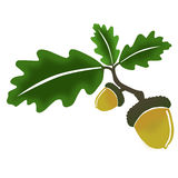 Oak, leaves and acorn. Drawing of a branch of an oak with 3 leaves with 2 acorns Royalty Free Stock Photo