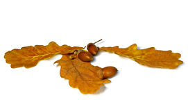 Oak leaves and acorn with clipping path. Isolated brown acorn and oak leaves with shadow Stock Photography