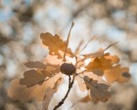 Oak leaves acorn close-up bokeh background outdoor forest natura beautiful. Oak leaves acorn close-up bokeh background outdoor forest natura stock photo
