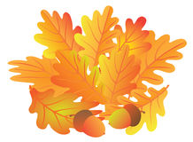 Oak Leaves and Acorn in Fall Vector Illustration. Oak Leaves and Acorns in Fall Colors  on White Background Color Vector Illustration Royalty Free Stock Images
