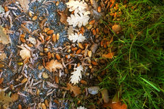 Oak leaves and acorn Royalty Free Stock Photos