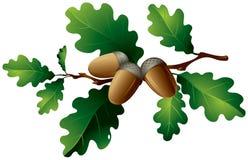 Oak leaves and acorns Stock Image
