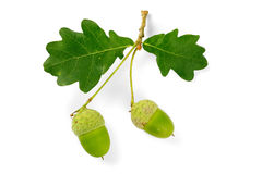 Oak leaves and acorns. Branch of an oak tree with leaves and acorns on white Royalty Free Stock Photo
