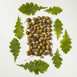 Oak leaves and acorns form square royalty free stock image