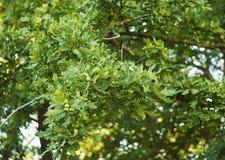 Oak Royalty Free Stock Images
