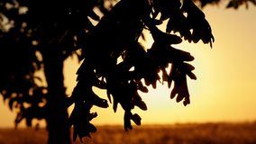 Oak leaves against the background of autumn sunset. The rays of the sun pass through the leaves of the tree stock footage