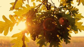 Oak leaves against a yellow sunset. In an autumn forest stock video