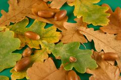 Oak Leaves And Acorns Royalty Free Stock Images