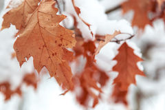 Oak Leaves Are Covered With Snow. Royalty Free Stock Image