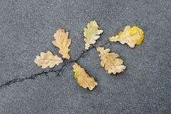 Oak leaves on asphalt Royalty Free Stock Photo
