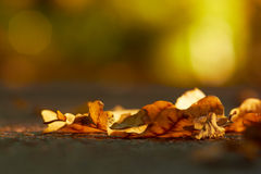 Oak leaves on asphalt at autumn season. Royalty Free Stock Image