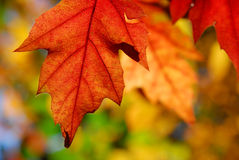 Oak leaves autumn Royalty Free Stock Images