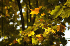 Oak leaves in autumn Stock Photography