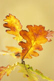 Oak leaves in autumn Royalty Free Stock Photography
