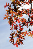 Oak Leaves in Autumn Royalty Free Stock Photo