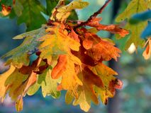 Oak leaves in autumn. Brown and yellow leaves of an oak tree Royalty Free Stock Photography