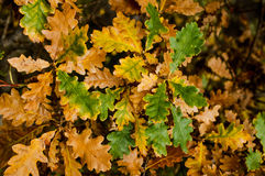 Oak leaves in autumn colour Stock Photography