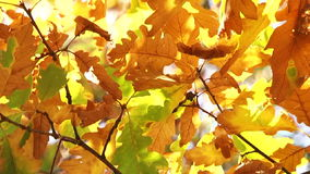 Oak Leaves In Autumn Colours Moved My Wind stock video footage