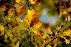 Oak leaves in autumn light Royalty Free Stock Photography