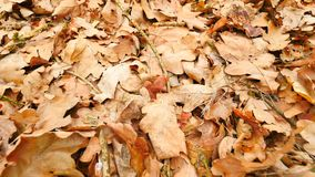 Oak leaves. Autumn park ground with carpet of dry orange oak leaves, broken twigs and long pine needles. Slow camera movement. Close up to ground stock footage