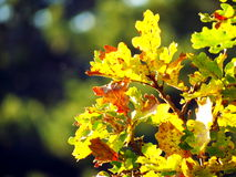 Oak leaves in autumnal sun Royalty Free Stock Images