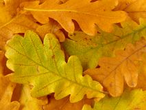 Oak leaves background Stock Photo