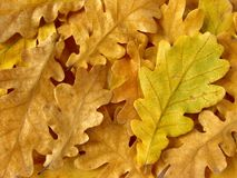 Oak leaves background Royalty Free Stock Photo