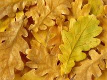 Oak leaves background Royalty Free Stock Image