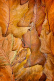 Oak leaves background. Dry brown autumn oak leaves texturd background Stock Image
