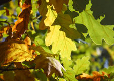 Oak leaves background. Fresh and sunny autumn view Royalty Free Stock Images