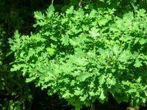 Oak leaves background Royalty Free Stock Photo