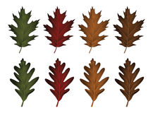 Oak Leaves - Black Oak and White Oak Stock Images