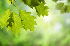 Oak Leaves on Branch against Green Canopy Stock Photography