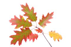 Oak leaves on a branch isolated white background Royalty Free Stock Photos
