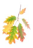 Oak leaves on a branch isolated white background Royalty Free Stock Image