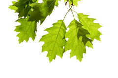 Oak Leaves on Branch Royalty Free Stock Photos
