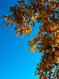 Oak Leaves and Branches in Autumn. Oak leaves and branches against a clear blue sky in autumn Stock Photography