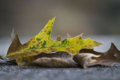 Oak leaves with changing colors royalty free stock photography
