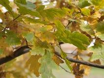 Oak Stock Images