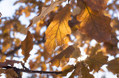 Oak leaves, close up background. Stock Photo