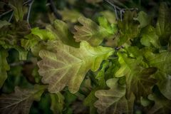 Oak Leaves Stock Images